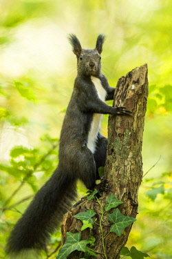 IBXCRU04632726 Eurasian red squirrel (Sciurus vulgaris) climbs on branch, Lower Austria, Austria, Europe
