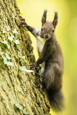IBXCRU04632731 Eurasian red squirrel (Sciurus vulgaris) climbs on tree, Lower Austria, Austria, Europe