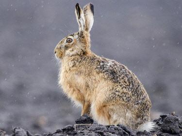 IBXCRU04633993 European hare (Lepus europaeus) sitting in rain, Neusiedler See National Park, Seewinkel, Burgenland, Austria, Europe