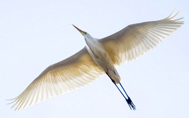 IBXCRU04634031 Great egret (Ardea alba) in flight, Neusiedler See National Park, Seewinkel, Burgenland, Austria, Europe