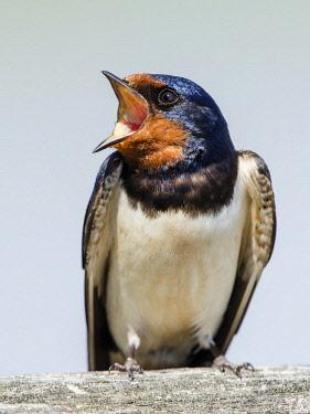 IBXCRU04634032 Barn swallow (Hirundo rustica) calling, Neusiedler See National Park, Seewinkel, Burgenland, Austria, Europe