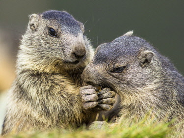 IBXCRU04636314 Marmots (Marmota) eat together, young animals, Grossglockner, Carinthia, Austria, Europe