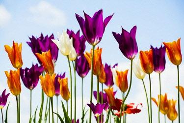 IBXDJS04631787 Colourful tulips, berlingen, Lake Constance, Baden-Wurttemberg, Germany, Europe