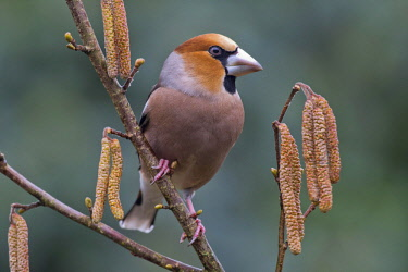 IBXENH04640081 Hawfinch (Coccothraustes coccothraustes) sits on branch of a blooming hazelnut bush, Emsland, Lower Saxony, Germany, Europe