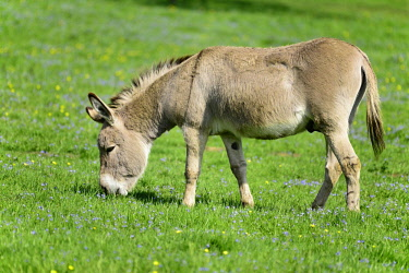 IBXFSO04473551 Domestic donkey (Equus asinus asinus) eating grass in a meadow, Germany, Europe