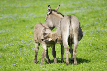 IBXFSO04473552 Domestic donkeys (Equus asinus asinus), mare suckling foal, Germany, Europe