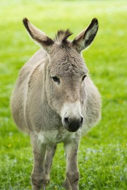 IBXFSO04473554 Domestic donkey (Equus asinus asinus), portrait, Germany, Europe