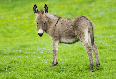 IBXFSO04473555 Domestic donkey (Equus asinus asinus), foal, Germany, Europe