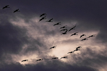 IBXHAL04654549 Common cranes (Grus gruse) in formation flying in front of dark cloudy skies, Zingst, Western Pomerania Lagoon Area National Park, Mecklenburg-Western Pomerania, Germany, Europe