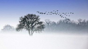 IBXHIN04618189 River Elbe Floodplains in winter, solitary tree, flock of birds, geese in early mist, Central Elbe Biosphere Reserve, Saxony-Anhalt