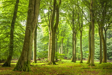 IBXJEK04585854 Beech primeval forest with deadwood, Jasmund National Park, Island of Rugen, Mecklenburg Vorpommern, Germany, Europe