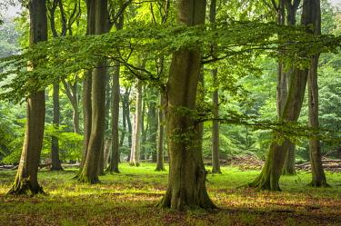 IBXJEK04585856 Beech primeval forest with deadwood, Jasmund National Park, Island of Rugen, Mecklenburg Vorpommern, Germany, Europe