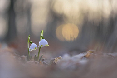 IBXKKP04182661 Spring snowflakes (Leucojum vernum) in evening light, Auwald, Riparian forest, Saxony, Germany, Europe