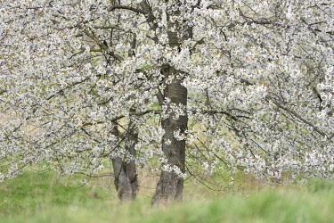 IBXKKP04564230 Cherry trees in full bloom, Wild cherry (Prunus avium), near Thale, Saxony-Anhalt, Germany, Europe