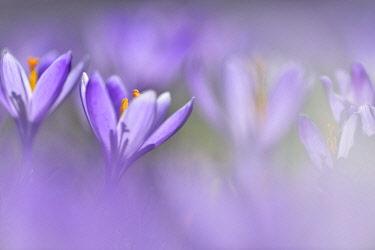 IBXKKP04564327 Flowers of Spring crocus (Crocus vernus), Saxony-Anhalt, Germany, Europe