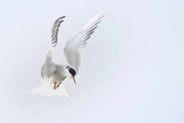IBXKKP04564479 Common tern (Sterna hirundo) hunting in the shaking flight, Biosphere Reserve Oberlausitzer Heide und Teichlandschaft, Saxony, Germany, Europe