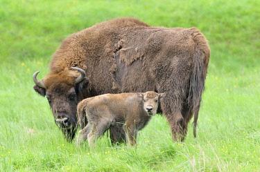 IBXRBA04089573 European bison (Bison bonasus), bison cow with calf, captive, North Rhine-Westphalia, Germany, Europe