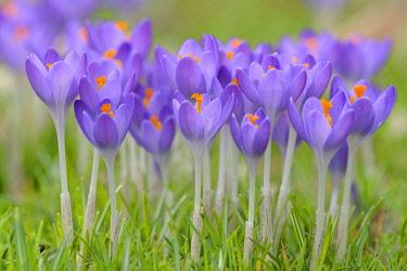 IBXRBA04614376 Purple Crocuses (Crocus sp.) in a meadow, Germany, Europe