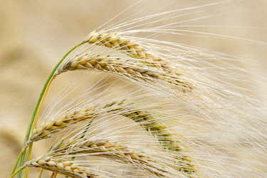 IBXRBA04725999 Barley (Hordeum vulgare), ears of corn in detail, North Rhine-Westphalia, Germany, Europe