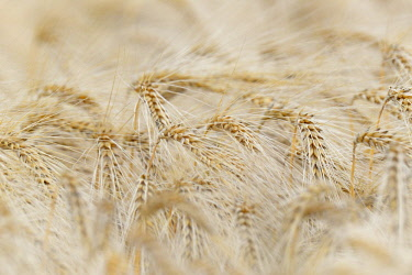 IBXRBA04726030 Barley (Hordeum vulgare), ears of corn in detail, North Rhine-Westphalia, Germany, Europe