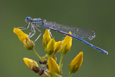 IBXREH04095556 White-legged damselfly (Platycnemis pennipes), male, Burgenland, Austria, Europe