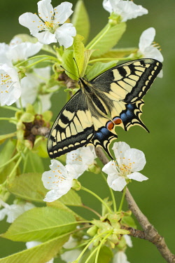 IBXREH04622570 Swallowtail (Papilio machaon) to fruit blossom, Tyrol, Austria, Europe