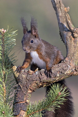 IBXREH04663305 Eurasian red squirrel (Sciurus vulgaris) sits on branch of a Pine (Pinus), Tyrol, Austria, Europe