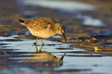 IBXRID04343312 Red knot (Calidris canutus) in search of food, Wadden Sea National Park, Lower Saxony, Germany, Europe
