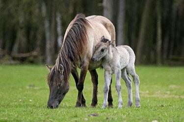 IBXRON04364878 D�lmen pony, mother and foal, Dulmen, North Rhine-Westphalia, Germany, Europe