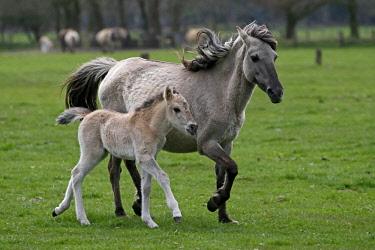 IBXRON04364879 Dulmen pony, mother and foal, Dulmen, North Rhine-Westphalia, Germany, Europe