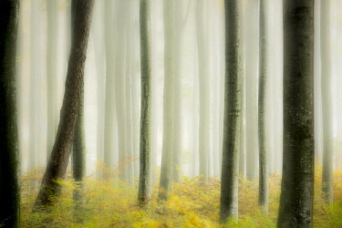 IBXSEI04641444 Autumnal Beech forest (Fagus) with fog, Mindelheim, Unterallgau, Bavaria, Germany, Europe