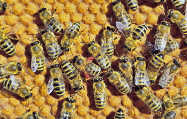 IBXSLG04145125 European Honey Bees (Apis mellifera var. carnica), one bee with red pollen packs from a wisteria, on honeycomb with capped brood cells, Bavaria, Germany, Europe