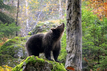 IBXSOX04641843 European brown bear (Ursus arctos arctos), young animal scenting, autumn, Bavarian Forest National Park, Germany, Europe