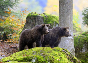 IBXSOX04641847 European brown bear (Ursus arctos arctos), two young animals standing on rocks and looking out, Bavarian Forest National Park, Germany, Europe