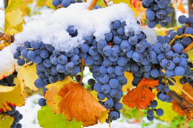 IBXTKE04597721 Blue vines with autumn leaves and snow, Dornfelder grapes, wine growing region Remstal, Baden-Wurttemberg, Germany, Europe