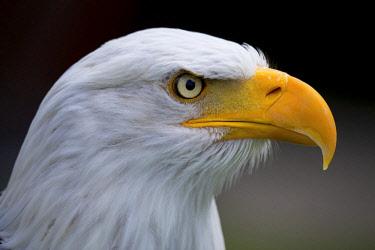 IBXVDA04657951 Bald eagle (Haliaeetus leucocephalus), animal portrait, captive, North Rhine-Westphalia, Germany, Europe