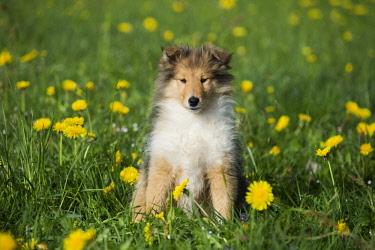IBLPSA04339476 Collie, Scottish shepherd, puppy, sable white, sitting in dandelion meadow, Salzburg, Austria, Europe