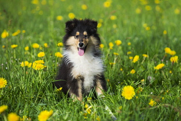 IBLPSA04339477 Collie, Scottish shepherd, puppy, tricolor, sitting in dandelion meadow, Salzburg, Austria, Europe