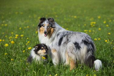 IBLPSA04339480 Collie, Scottish shepherd, blue merle and tricolor, with puppy in dandelion meadow, Salzburg, Austria, Europe