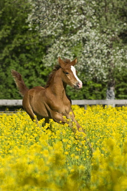 IBLPSA04345378 Purebred Arabian foal galloping in a flower meadow, North Tyrol, Austria, Europe
