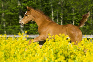 IBLPSA04345379 Purebred Arabian foal galloping in a flower meadow, North Tyrol, Austria, Europe
