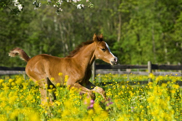 IBLPSA04345381 Purebred Arabian foal galloping in a flower meadow, North Tyrol, Austria, Europe