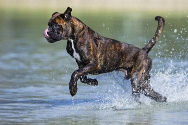 IBLPSA04413004 Boxer running in water, Austria, Europe