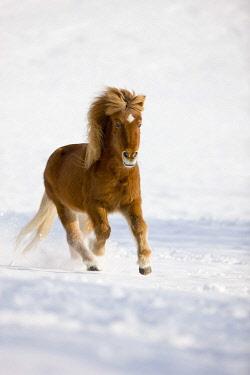 IBLPSA04413315 Icelandic horse galloping in snow, winter, Austria, Europe