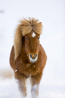 IBLPSA04413316 Icelandic horse trots in snow, winter, Austria, Europe