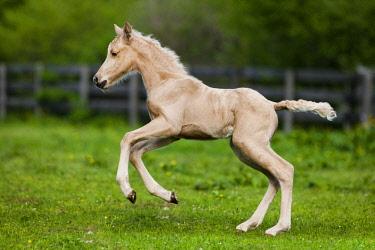 IBLPSA04414658 Palomino Morgan horse foal galloping, green meadow, Tyrol, Austria, Europe