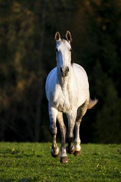 IBLPSA04415914 Holsteiner, Fliegenschimmel, horse galloping in meadow, autumn, Tyrol, Austria, Europe