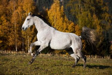 IBLPSA04415925 Holsteiner, Fliegenschimmel, horse galloping in meadow, autumn, Tyrol, Austria, Europe