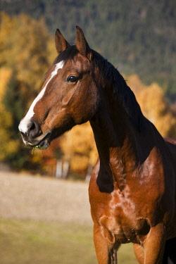 IBLPSA04415927 Holsteiner, brown horse, autumn, portrait, Tyrol, Austria, Europe