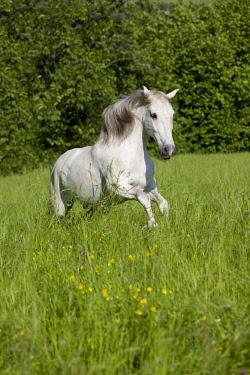 IBLPSA04415931 PRE, Pura Raza Espanola, Andalusian horse, gallops in tall grass, North Tyrol, Austria, Europe